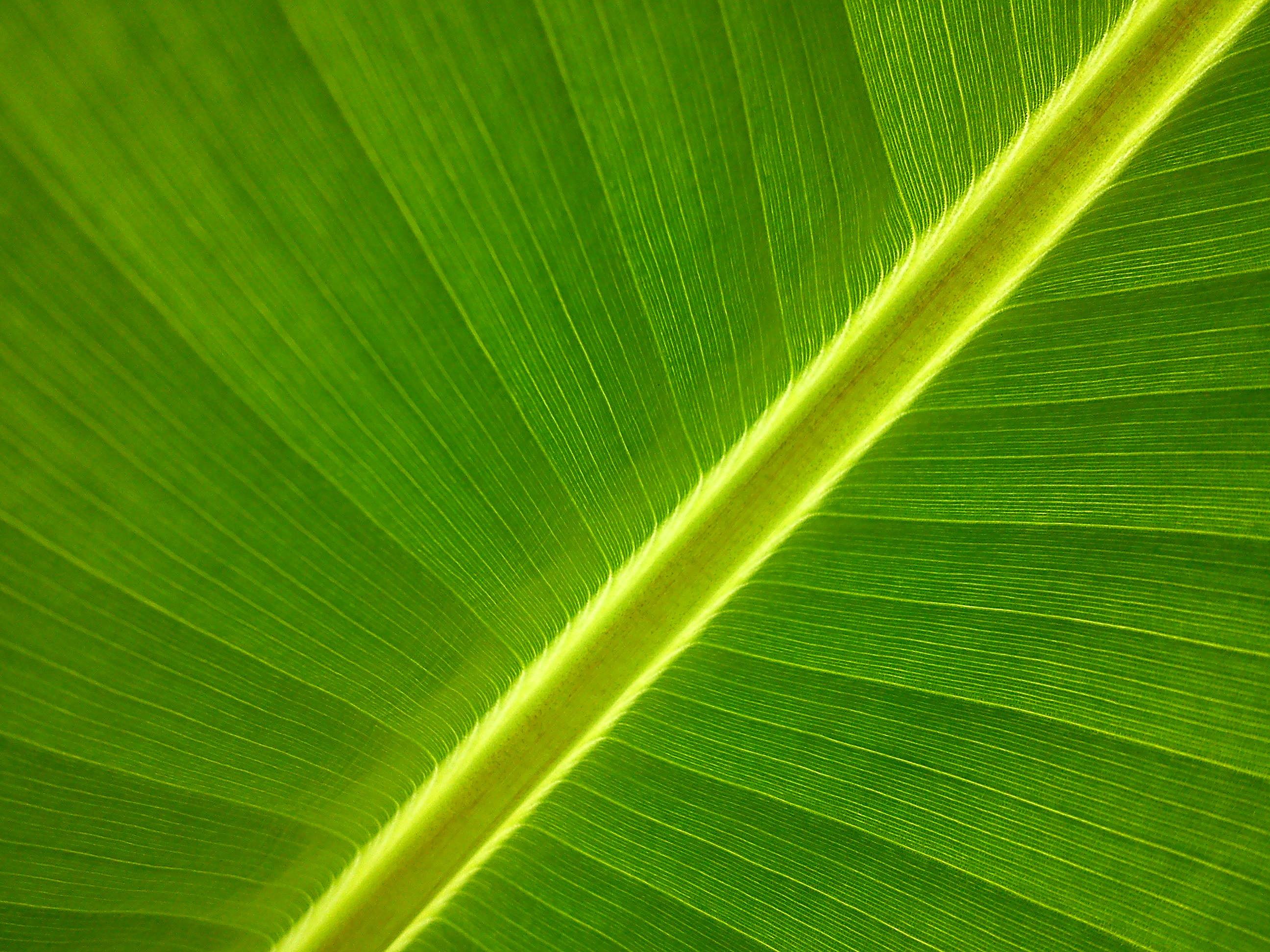 banana-tree-50020-2